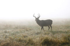 бдительный самец оленя возмужалый Стоковые Изображения