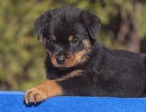 Бдительный щенок Rottweiler мужчины лежа на голубом полотенце стоковые изображения rf