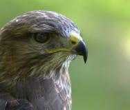 бдительный buzzard Стоковая Фотография RF