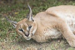 Бдительный caracal рысь поднимает свою голову пока отдыхающ Стоковые Изображения RF