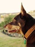 бдительный kelpie собаки Стоковая Фотография RF