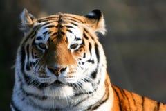 бдительный siberian тигр Стоковые Изображения