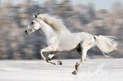 Бега белой лошади gallop в зиме, движении нерезкости