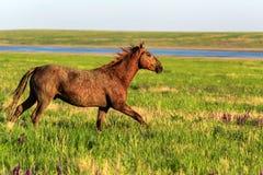 Бега дикой лошади в sunlit луге Стоковые Фотографии RF