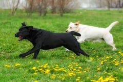 2 бега потехи retrievers Лабрадоров белых желтой и черной собак Стоковые Изображения