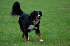 Бега собаки горы Tricolored Bernese Стоковые Фотографии RF