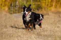 Бега собаки Bernese Стоковые Фотографии RF