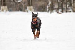 Бега собаки Doberman Стоковая Фотография