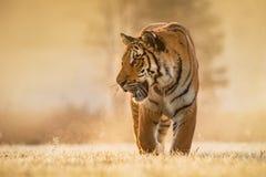 Бега тигра за добычей Поохотьтесь добыча в tajga в временени Тигр в одичалой природе лета Сцена живой природы действия, anim опас стоковое фото
