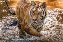 Бега тигра за добычей Поохотьтесь добыча в tajga в лете tim стоковое изображение