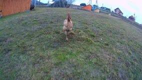 Бега цыпленка на траве сток-видео