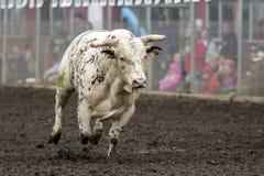 Бега Bull одичалые Стоковая Фотография RF