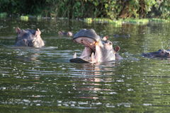 Бегемоты в озере стоковое фото