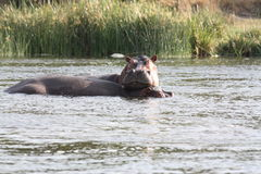 Бегемоты играя в озере стоковое изображение rf
