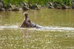 Бегемоты показывая огромную челюсть в воде стоковые фото