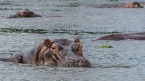 Бегемот внутри воды в Ниле стоковое фото