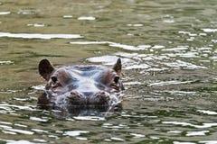 Бегемот в воде Стоковое Изображение