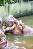 Бегемот в воде Стоковое Изображение RF