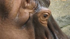 Бегемот в национальном зоопарке Малайзии стоковое изображение