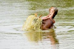 Бегемот в озере в Южной Африке стоковое фото rf