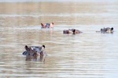 Бегемот в озере Стоковая Фотография RF