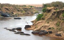 Бегемот запаса Mara Masai в Кении Стоковое фото RF