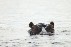 Бегемот - национальный парк Chobe стоковое изображение rf