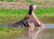 Бегемот, национальный парк Kruger, Южная Африка Стоковое Фото