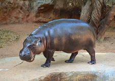 Бегемот на зоопарке Стоковое Фото