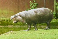 Бегемот пигмея Стоковое фото RF