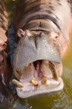 Бегемот показывая огромные челюсть и зубы Стоковые Фото