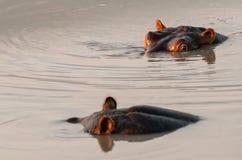 Бегемот полу-погруженный в воду в южно-африканском реке Стоковое фото RF