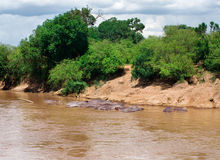 Бегемот (amphibius бегемота) в реке. Maasai Mara Nati Стоковое Изображение