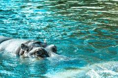Бегемот Amphibius бегемота смотрит из воды Гиппопотам купает в реке, озере в естественном Стоковые Изображения RF