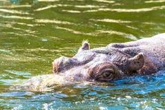 Бегемот Amphibius бегемота смотрит из воды Гиппопотам купает в реке, озере в естественном Стоковые Фото