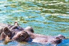 Бегемот Amphibius бегемота смотрит из воды Гиппопотам купает в реке, озере в естественном Стоковая Фотография