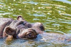 Бегемот Amphibius бегемота смотрит из воды Гиппопотам купает в реке, озере в естественном Стоковые Фотографии RF
