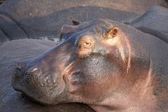 Бегемот (amphibius бегемота) Стоковое фото RF