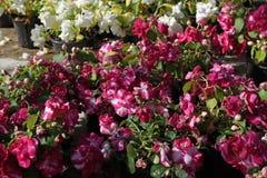бегонию Поле бегонии цветет с зелеными украшением или подарком листьев желтый цвет картины сердца цветков падения бабочки флорист Стоковые Изображения