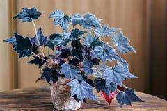 Бегония в старом цветочном горшке на деревянной предпосылке Бегония род постоянных цветковых растений в бегониевые семьи развилки стоковое изображение