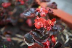 Бегония в flowerbeds стоковое изображение