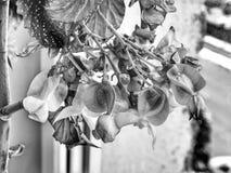 Бегония крыла Анджела в черно-белом Стоковое фото RF