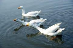 Бегун белой шеи цвета 3 длинной индийский ducks Стоковые Изображения RF