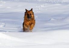 бегун немецкой овчарки Длинн-пальто на снеге! Стоковая Фотография RF