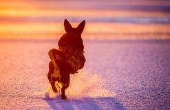 Бег и скачка собаки в заходе солнца зимы стоковое изображение