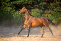 Бег лошади залива быстро стоковое изображение rf