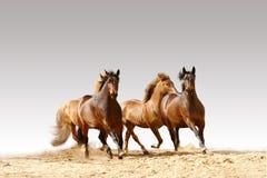 бег лошадей Стоковые Фотографии RF
