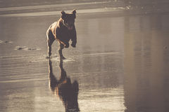 Бег перемещения собаки счастливый на пляже Стоковая Фотография