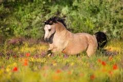 Бег пони серовато-коричневого цвета в цветках стоковые фото