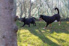 Бег собаки горы Appenzeller с щенком смешивания Лабрадор outdoors стоковые изображения rf